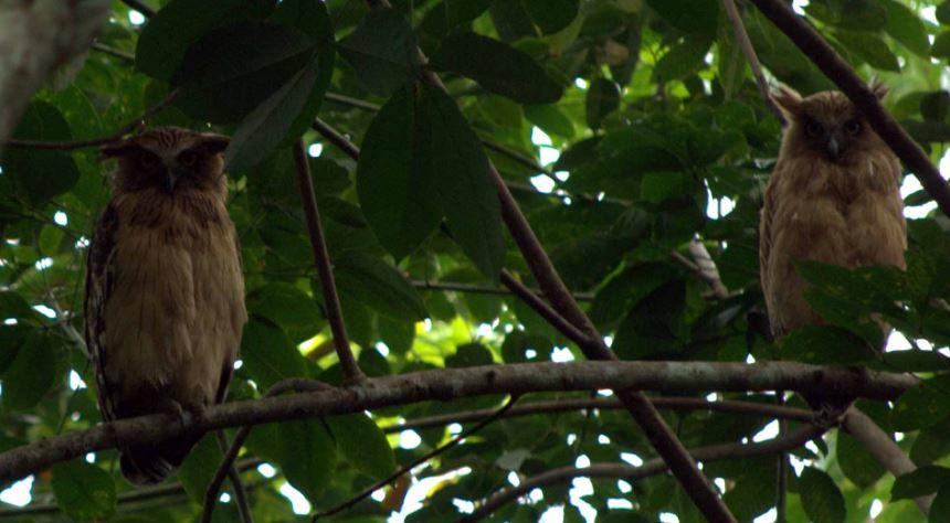 Beluk Ketupa owl