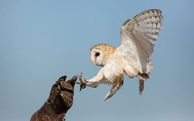 Tyto Alba owl