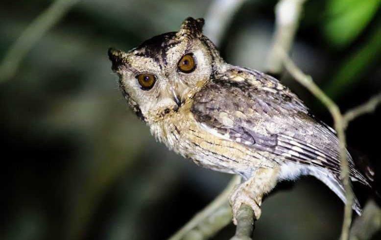 Download 84  Gambar Burung Hantu Makan Tikus  Terbaru Free