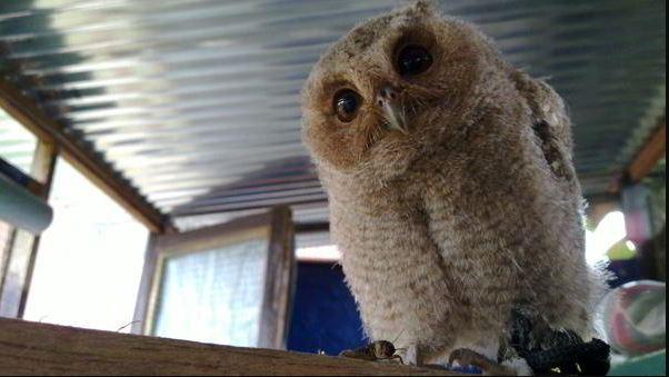 celepuk owl