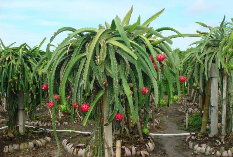 Manfaat buah naga dan cara menanamnya