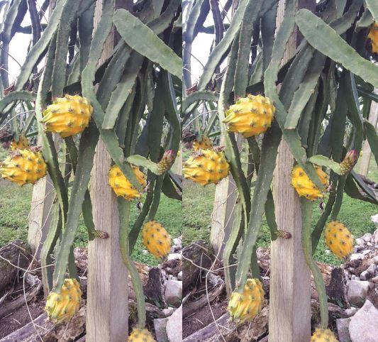 manfaat buah naga kuning
