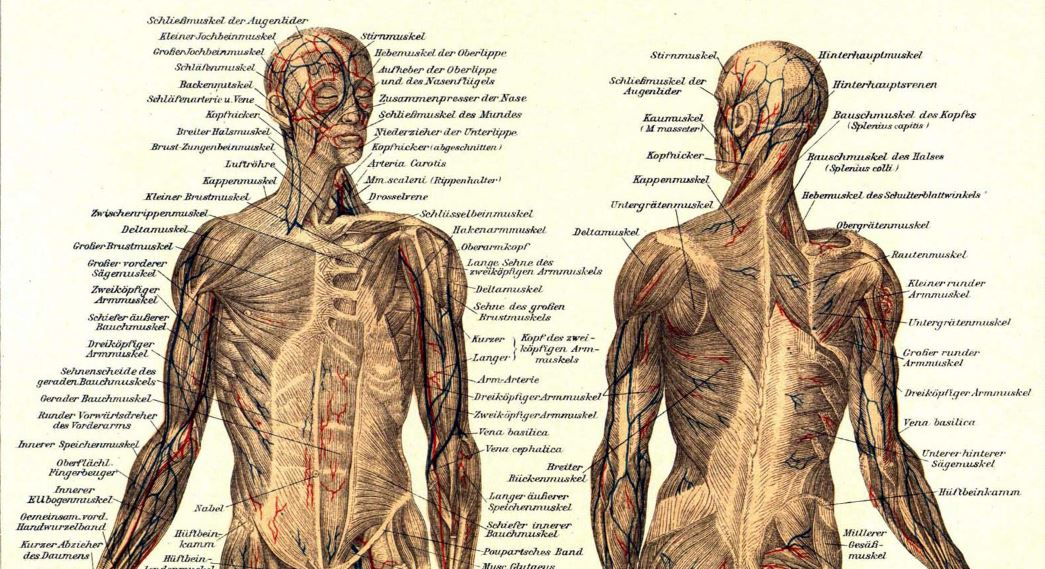 Sistem otot dalam anatomi tubuh manusia