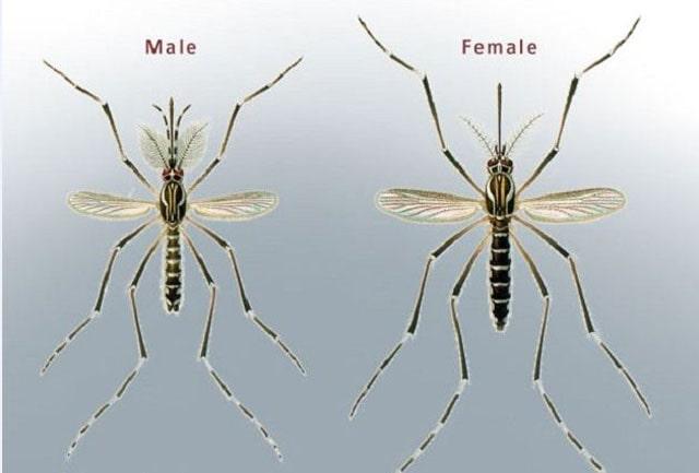 Daur Hidup Nyamuk, beda nyamuk jantan dan betina