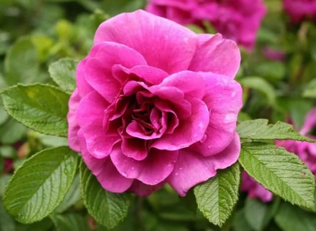 Gambar Bunga Kamelia