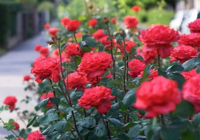 Gambar Bunga Mawar Merah Menyala