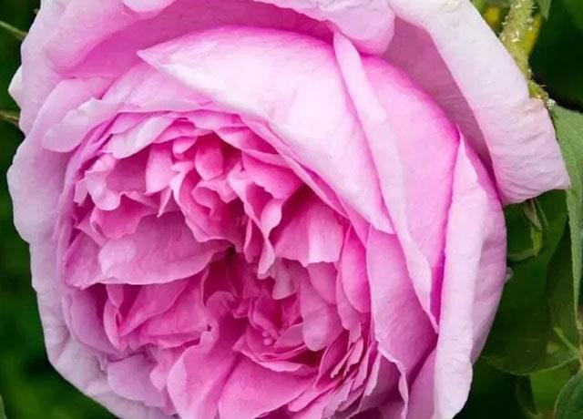 Gambar Bunga Mawar Portland