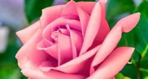 Gambar Bunga Tea Roses