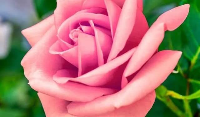 30 Gambar Bunga Cantik Indah Menawan Comel Wallpaper Pic Hd