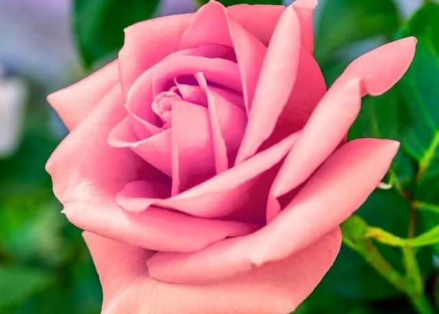 30 Gambar Bunga Cantik Indah Menawan Comel Wallpaper