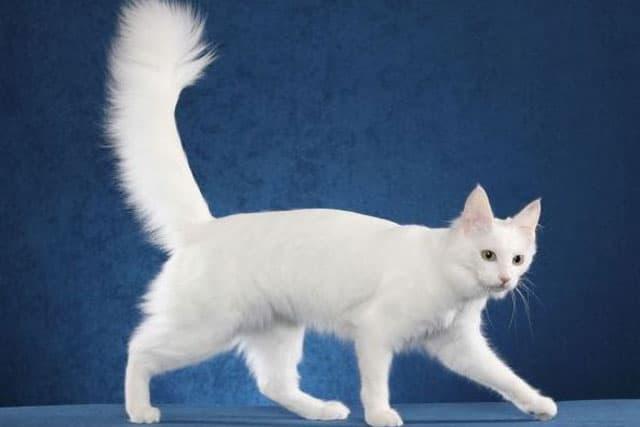 Angora cat picture