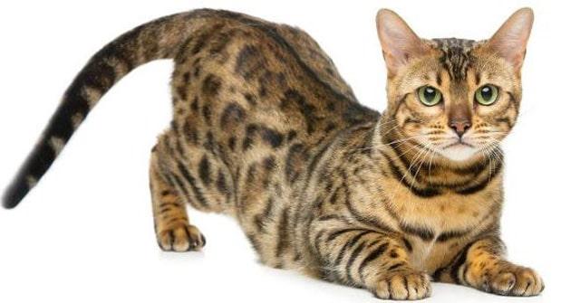 Image of Bengal cat