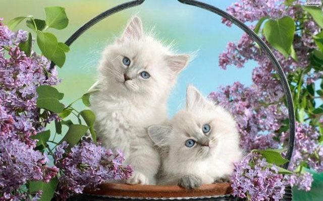 Wallpaper Kucing Parsi Comel Kucingcomel Com