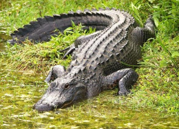 Gambar buaya, reptil