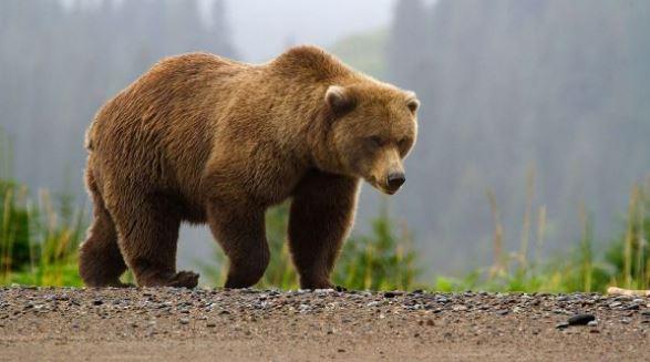 Gambar hewan beruang buas