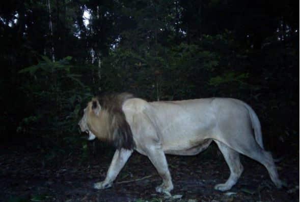 Gambar hewan karnivora, singa