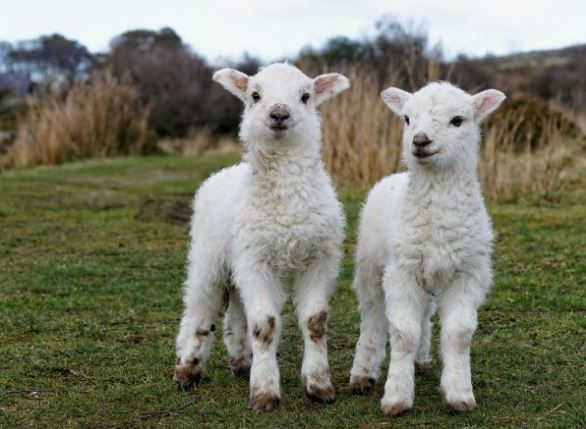 Gambar kambing, anak kambing