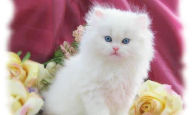 anak kucing putih bersih