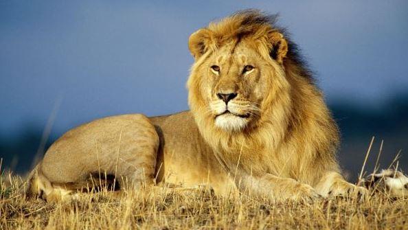 gambar singa hewan buas