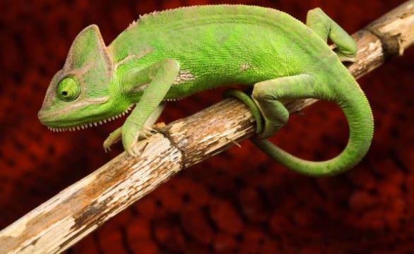 gambar bunglon reptil