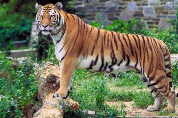 gambar harimau hewan buas