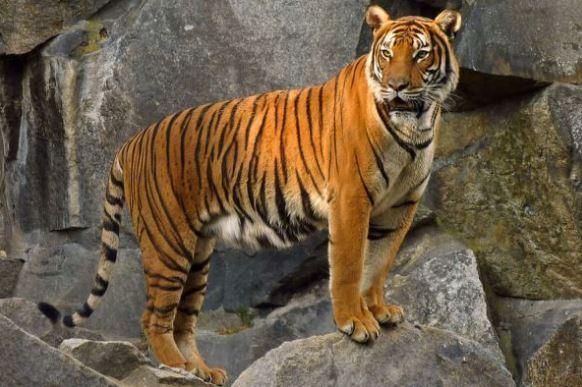 gambar harimau hewan karnivora
