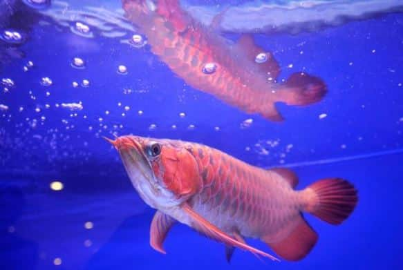 gambar hewan air ikan arwana