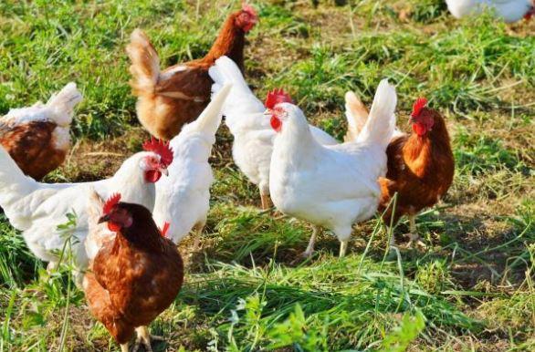 gambar hewan ayam betina