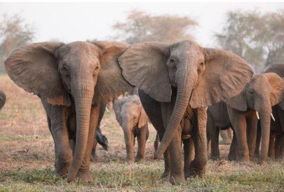 gambar hewan langka gajah