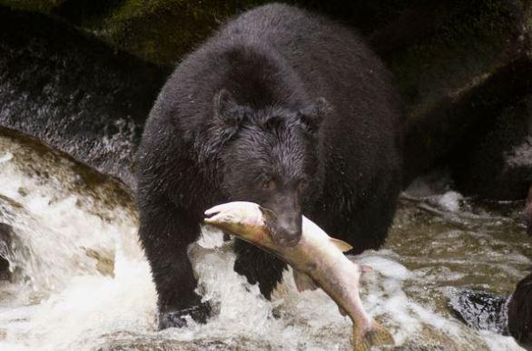 gambar hewan omnivora, beruang