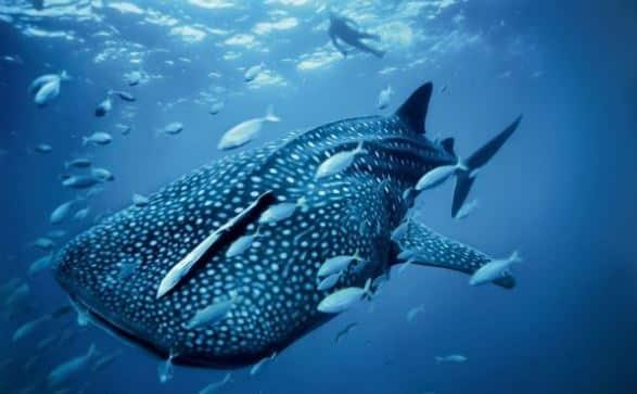 gambar ikan hiu, hewan air, mamalia air
