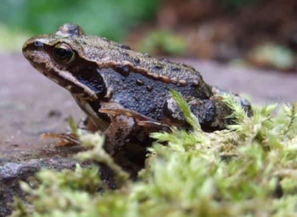 hewan amfibi katak