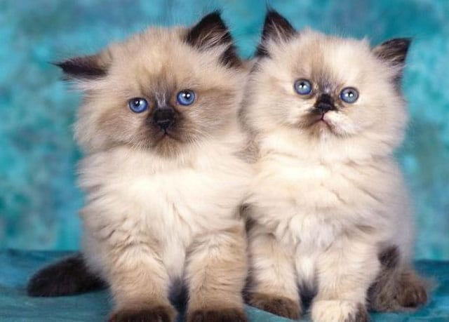 image of twin cats