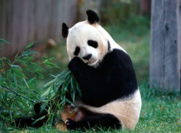 gambar panda hewan
