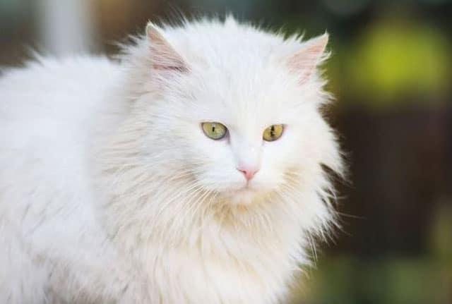 clean persian cat