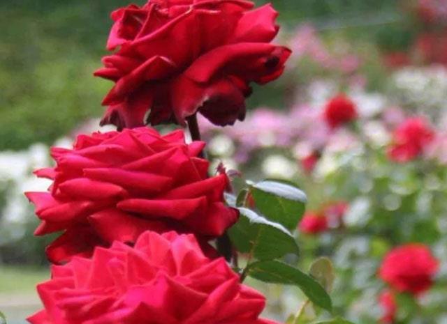 merah tua