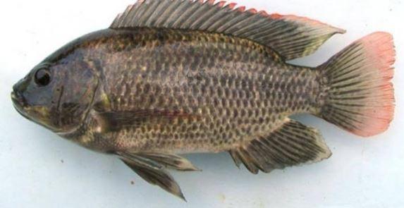 Mujair fish, picture of magic fish