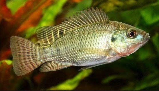 Tilapia, freshwater fish
