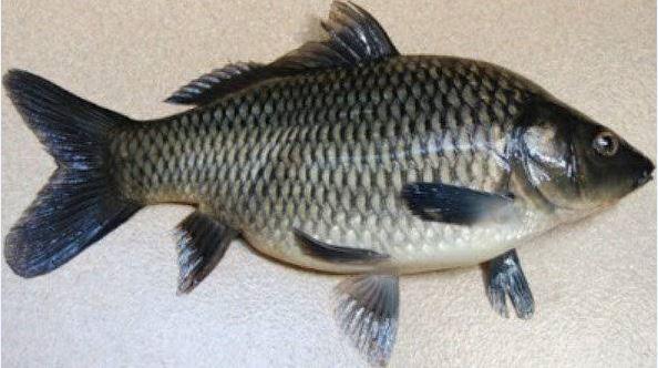 Ikan mas, ikan lezat