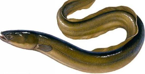 Ikan sidat, jenis ikan air tawar