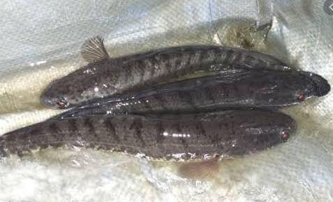 freshwater fish snakehead fish