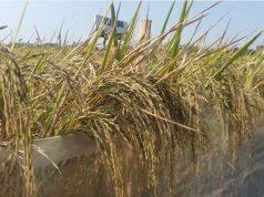 manfaat padi bagi kesehatan manusia