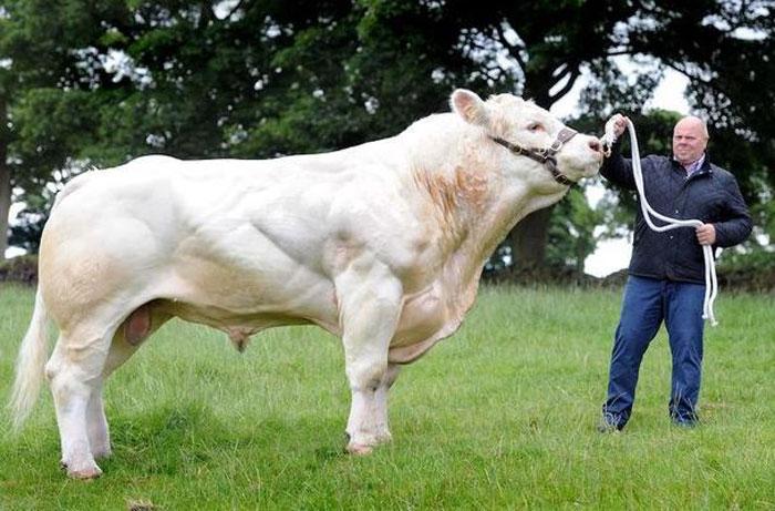 Sapi Britain, sapi terbesar didunia