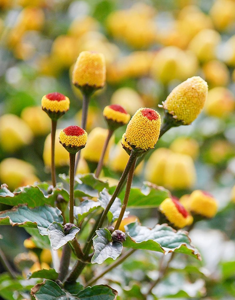 Benefit of Toothache Plant