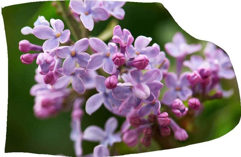 Syringa vulgaris flower for lilac