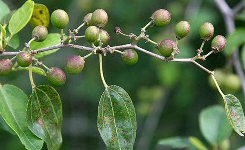 lotus tree fruit
