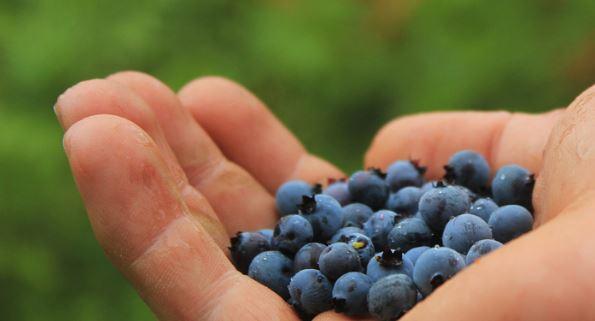 blueberry fruit in morning