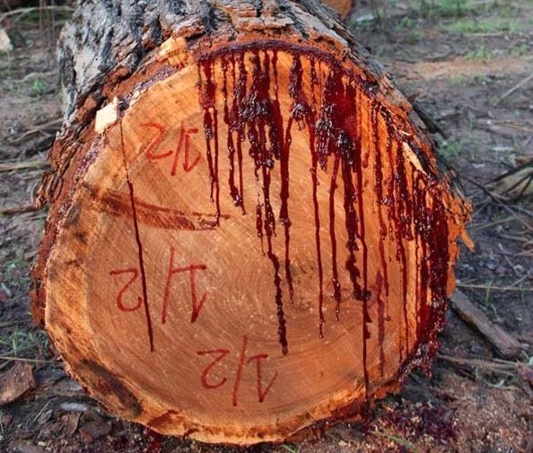 The Bloodwood Tree