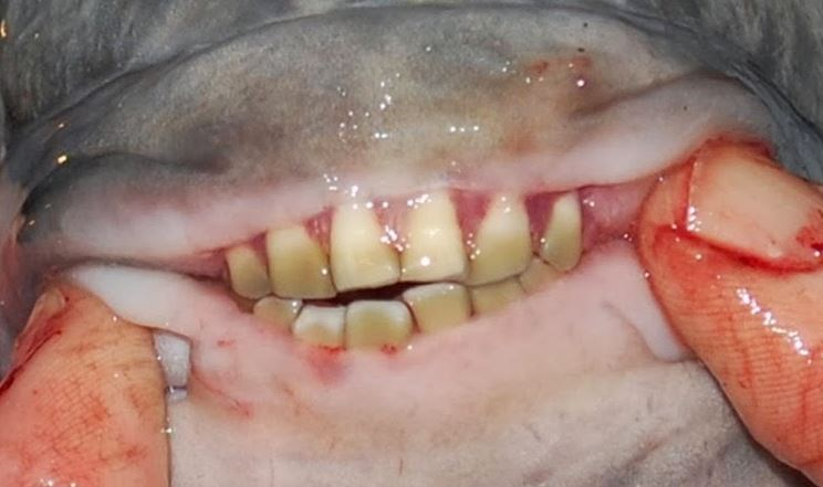 pacu, the teeth like human