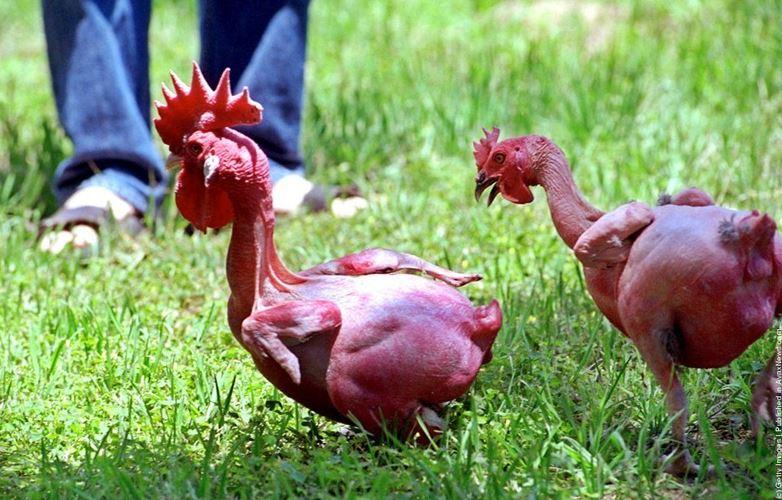 Funny Featherless Chicken